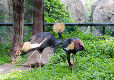Two black crowned cranes Royalty Free Stock Images