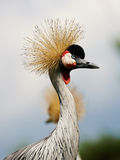 Two Black Crowned Cranes Stock Images