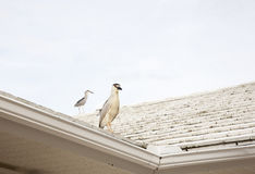 Two Black crowned night herons (Nycticorax nycticorax) on a clear sky background Royalty Free Stock Images