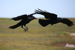 Two black crows in flight. Two black crows flying together Stock Photography