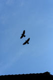 Two Black Crows Flying. In a blue sky with no clouds and copy space area Royalty Free Stock Photo
