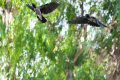 Two Black Crows flying In The forest stock image