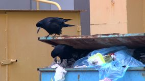 Two crows sitting on a garbage container and eating the remains of food from plastic bags