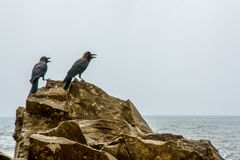 Two black crows sitting on the rocks Stock Photo
