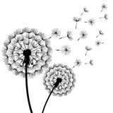 Two black dandelions blowing over white. Beautiful stylish nature white background with two stylized black dandelions blowing. Floral trendy wallpaper with Stock Image