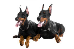Two black dobermans. On the white background Stock Photography