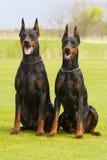Two black dobermans Stock Image