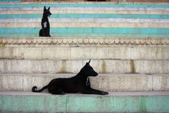 Two black dog on blue steps in Varanasi. India Royalty Free Stock Photo