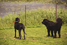 Two black dogs guarding their territory. Royalty Free Stock Image