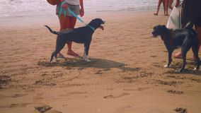 Two black dogs playing on beach. Two black dogs and owners playing with on beach with stock footage