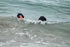 Two black dogs swimming in the Pacific Ocean fetching a toy. At dog beach in Southern California Royalty Free Stock Photo