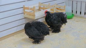 Two black domestic chicken. In contact zoo stock video footage