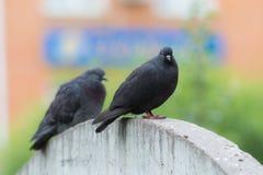 Two black dove Stock Photos