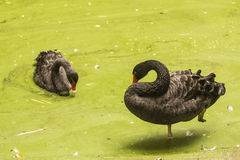 Two black ducks. In lake water stock images