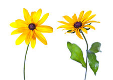 Two Black-Eyed Susan Stock Images