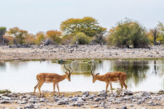 Two black-faced impala bulls staring at each other. At Goas waterhole in Etosha national park, Namibia Royalty Free Stock Photo