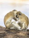 Two black-faced vervet monkeys, Ceropithecus aethiops, interlocked, with one biting the other`s arm while seated on tree trunk. In Kenya, Africa stock photos
