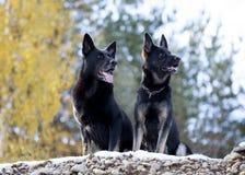 Two black German shepherds Royalty Free Stock Image
