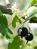 Two black gooseberries ready for picking. Stock Images
