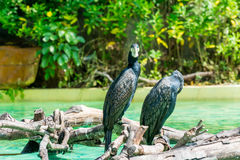 Two black great cormorant perching on dry wood in a pool under sunshine Stock Images