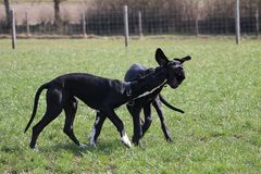 Two playing great danes in the park. Two black great danes have fun in the garden royalty free stock photography