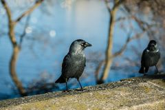 Two black and grey birds, common jackdaws with pale blue eyes. Standing on stone balustrade, bright sunny day, water and trees in background, close up image stock photos