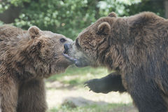 Two Black grizzly bears Stock Image