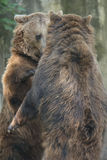 Two Black grizzly bears Stock Images
