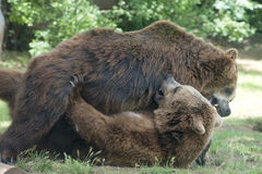 Two black grizzly bears while fighting. Close up portrait Royalty Free Stock Photos