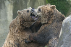 Two black grizzly bears while fighting. Close up portrait Stock Photo
