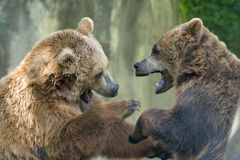 Two black grizzly bears while fighting. Close up portrait Royalty Free Stock Image