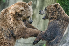 Two black grizzly bears while fighting. Close up portrait Stock Photos