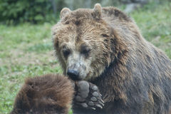Two Black grizzly bears Stock Photos