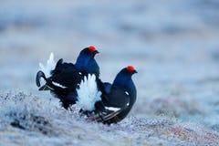 Two black grouse, detail head portrait. Black Grouse, Tetrao tetrix, lekking black bird in marshland, red cap head, animal in natu Royalty Free Stock Photo