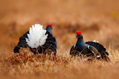 Two Black grouse fight on the bog meadow. Lekking nice bird Grouse, Tetrao tetrix, in marshland, Sweden. Spring mating season in t. He nature. Wildlife scene royalty free stock image