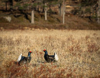 Two black grouse - Tetrao tetrix - lek in Norway Royalty Free Stock Photography