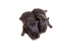 Two black Guinea pig babies Royalty Free Stock Photography