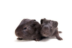 Two black Guinea pig babies Royalty Free Stock Photos