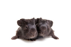 Two black Guinea pig babies Stock Photography