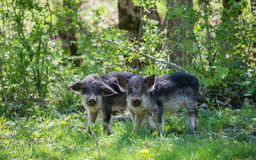 Two black hairy pigs breed Hungarian Mangalica. Two black hairy pigs breed Hungarian Mangalica looking at the camera. Russia Stock Image