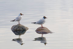 Two black headed gull standing on stones Stock Photo