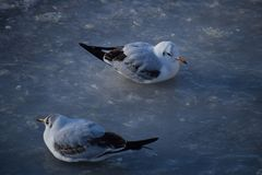 Two black-headed gulls are on the ice wearing winter and juvenile plumage. royalty free stock photos