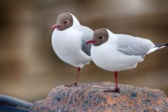 Two black-headed gulls are almost indistinguishable from each other. Two legs for two. Two black-headed gulls are almost indistinguishable each other (as like as stock photo