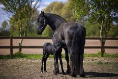 Two Black Horse on Field Stock Image
