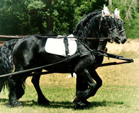 Two Black Horse in Harness Stock Images