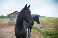 Two black horse on village farm Stock Photography