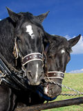 Two black horses Royalty Free Stock Photography
