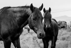 Two black horses haging out on the hill stock photo