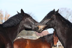 Two black horses nuzzling each other. With brown horse at the background looking at them Stock Photography