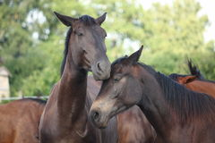Two black horses nuzzling each other Royalty Free Stock Photo